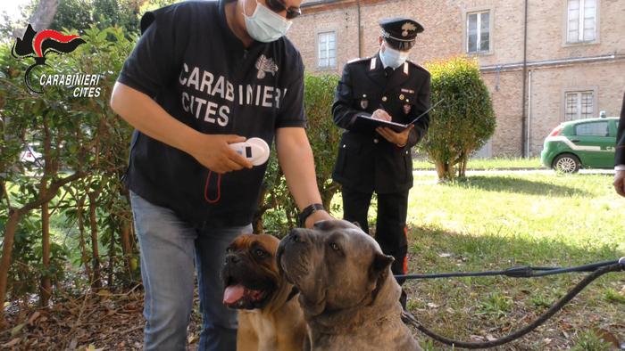 Maltrattamenti cani e traffico cuccioli, coinvolto veterinario del cosentino